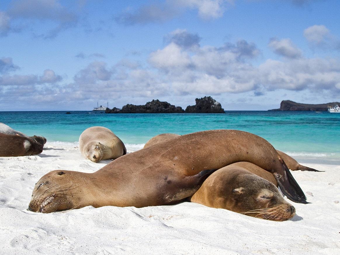 Galapagos sea lions Zalophus wollebaeki hauled out on the beach in the Galapagos Island Archipelago Ecuador